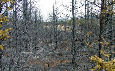 deadwood left by forest fire