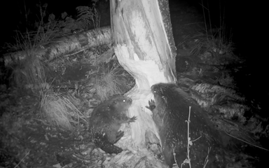 Adult beaver and young beaver gnawing on a tree trunk