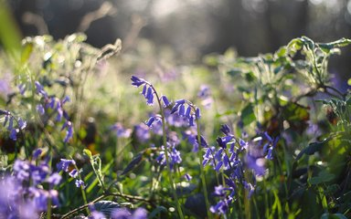 Bluebells in sunshine