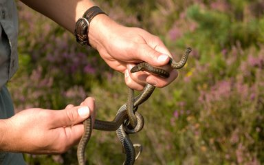 person holding a brown smooth snake