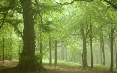 Atmospheric misty forest at Wendover Woods