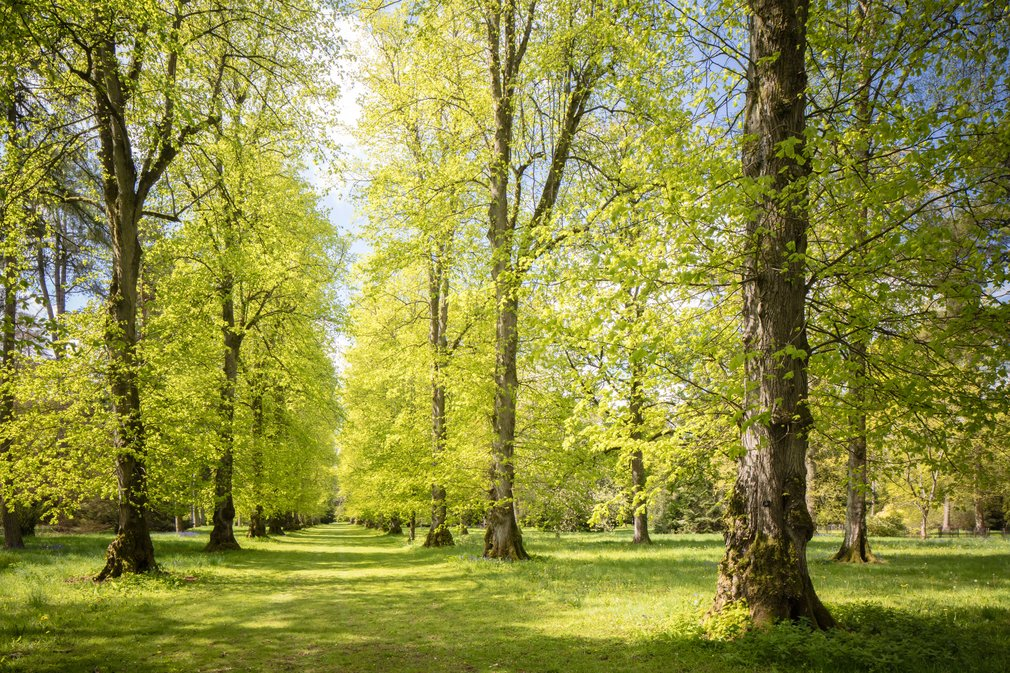 Lime Avenue in spring