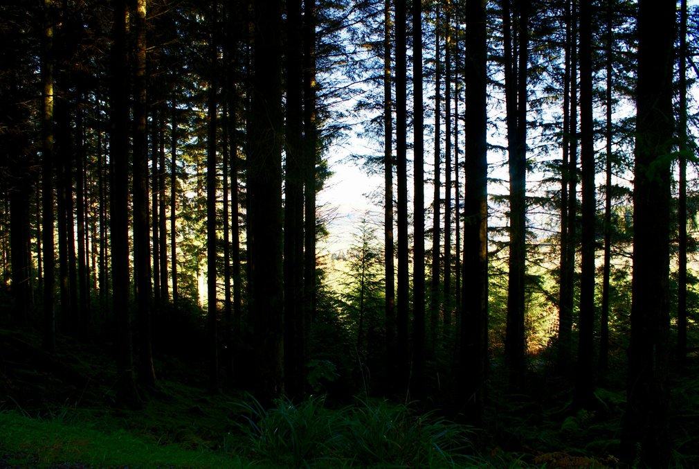 Conifer shadow forest