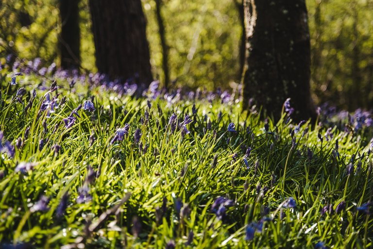Bluebells on the forest floor