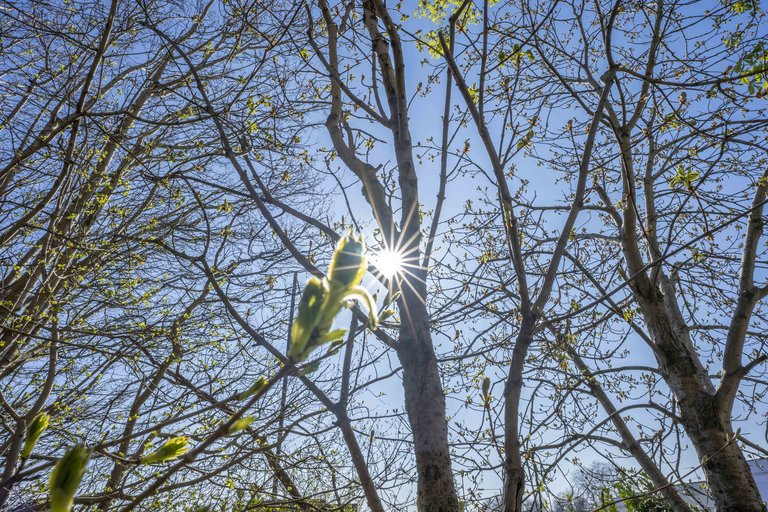 Tree bud in front of the sun