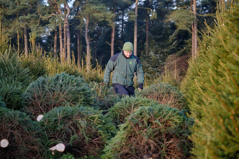 Chopped Christmas trees with forest worker walking between them