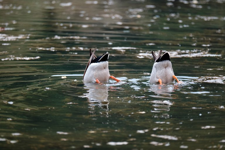 Ducks with their heads in the water