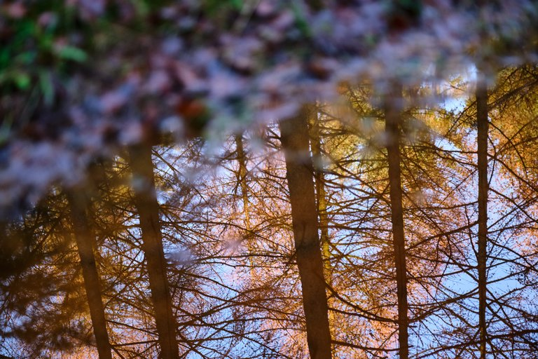 Reflection of towering conifer trees in body of water