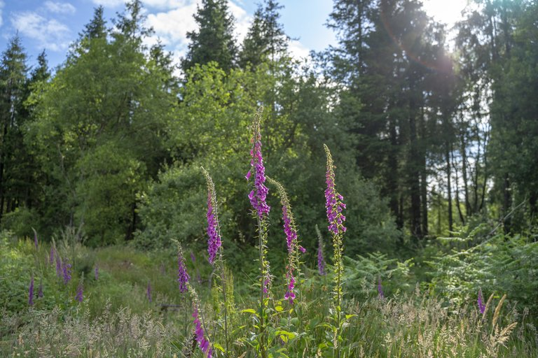 foxgloves in the sunshine, in mixed forest