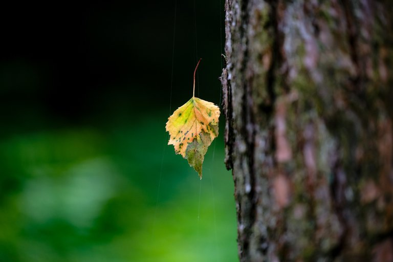 Leaf hanging from spider web attached to a tree trunk
