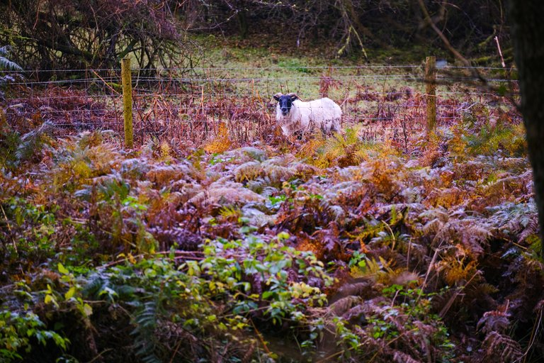 Sheep next to fence in dense orange and green foliage in the forest
