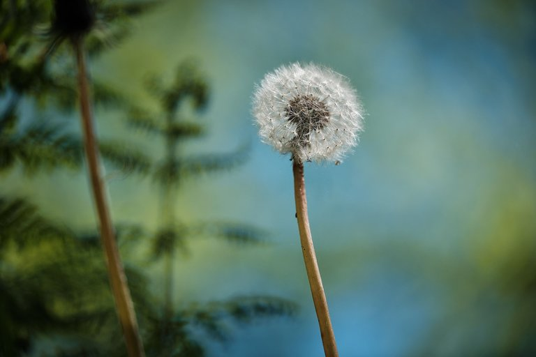 Single dandelion with seeds
