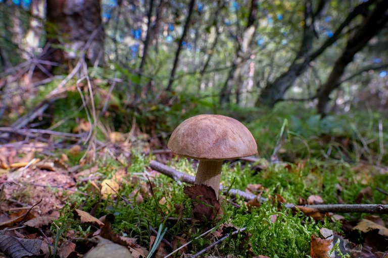 Brown mushroom rising from the mossy forest floor